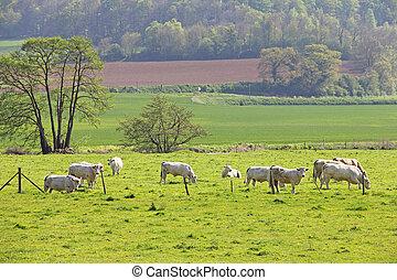 normandia, mucche, su, pascolo