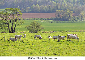 Normandy cows on pasture - White purebred Normandy cows on...