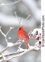 norteño, nieve, cardinal, rama, perched, cubierto