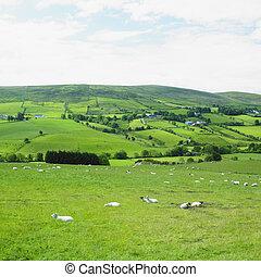 norteño, sperrin, tyrone, condado, irlanda, montañas