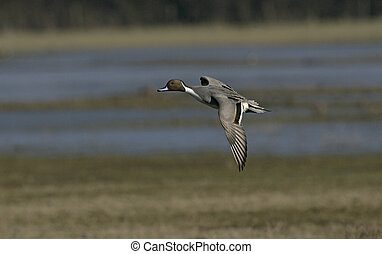 norte, pintail, anas, acuta