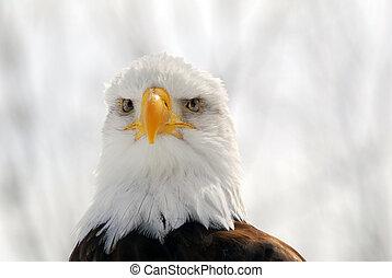 norteamericano, águila calva