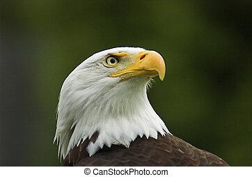 norteamericano, águila calva, perfil