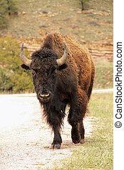 norteamericano, búfalo, cuernos