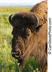 norteamericano, búfalo