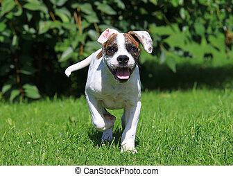 norteamericano, bulldog, perrito, corriente, aire libre