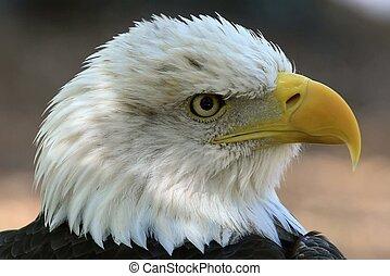 norteamericano, calvo, eagle.