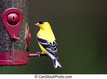 norteamericano, goldfinch, alimentador