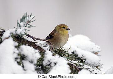 norteamericano, goldfinch, exposición