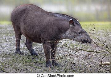 norteamericano,  tapir, sur
