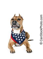 norteamericano, terrier, staffordshire