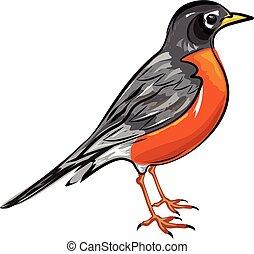 norteamericano, vector, robin, pájaro