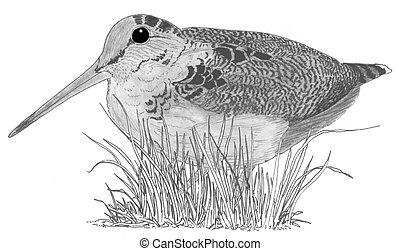 norteamericano, woodcock