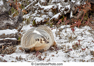 North American Badger in the Snow 1