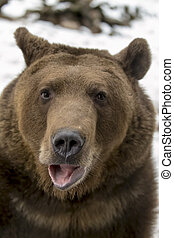 North American Bear - A Grizzly Bear enjoys the winter ...