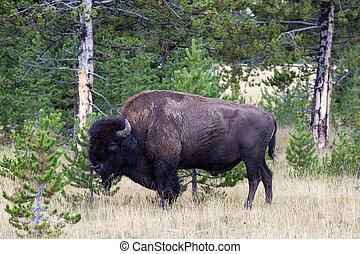 North American Buffalo Grazing near edge of woods during late su