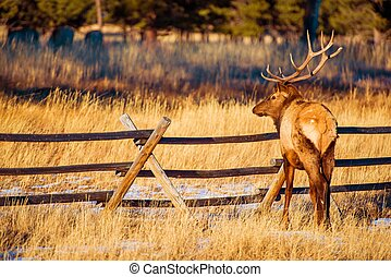 North American Elk in Colorado Estes Park. Elk Near Wood...