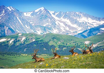 North American Elks on the Rocky Mountain Meadow in...
