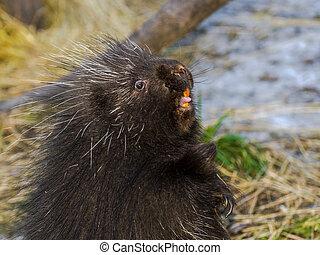 North American porcupine - North American or common...