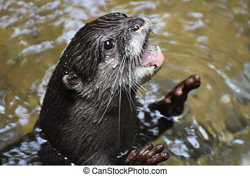 North American River Otter with His Mouth Wide Open