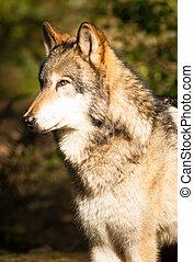 North American Timberwolf Wild Animal Wolf Canine - A Wolf ...