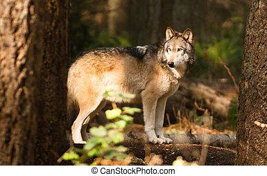 North American Timberwolf Wild Animal Wolf Canine Predtor ...