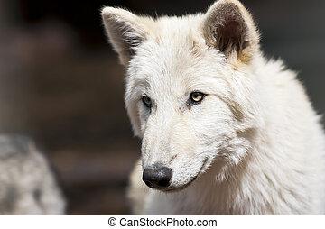 North American Wolf