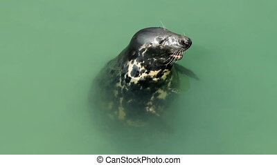 North Atlantic seal in Newquay.