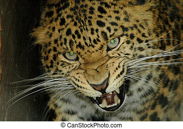 North Chinese leopard - An angry leopard in Szeged Zoo...