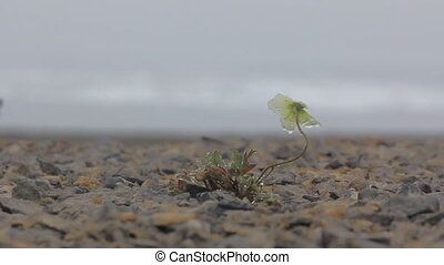 Dew Arctic poppy swaying in thick fog. Arctic desert