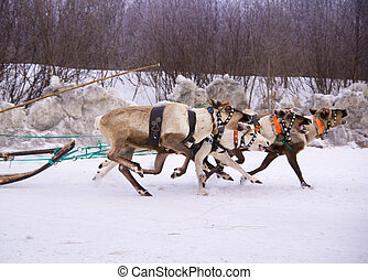 North holiday in Murmansk. Team of rein-deers skims over the snow path.