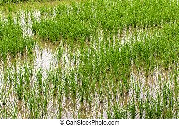 northen, chiangmai, campo, tailandia, arroz