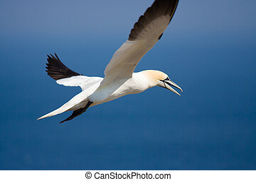 Northen Gannet - A Northern Gannet fishing off the coast of ...