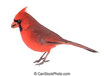 Norther Cardinal, Cardinalis cardinalis - Male northern ...