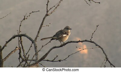 Norther Mockingbird Preening - Northern Mockingbird...