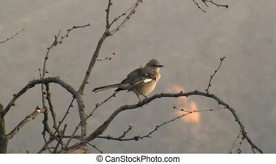 Norther Mockingbird Preening - Northern Mockingbird...
