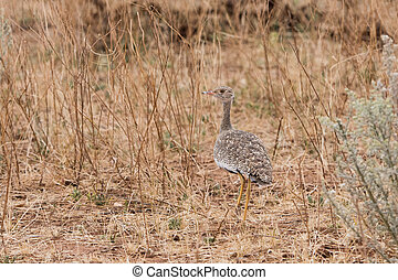 Northern Black Korhaan female