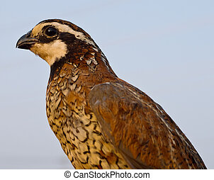 Northern Bob White Quail (Colinus virginianus) in early morning light.