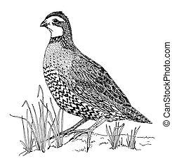 Northern Bobwhite - female Colinus virginianus Pen-and-Ink drawing