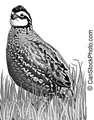 Northern Bobwhite - male Colinus virginianus Computer drawing