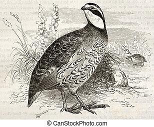 Northern Bobwhite old illustration (Colinus virginianus). ...