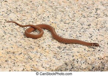 Northern Brown Snake (Storeria dekayi)