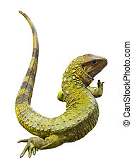 Northern Caiman Lizard  over white background