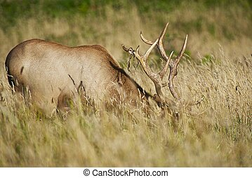 Northern California Elk in Grass. California Wildlife Photography Collection.