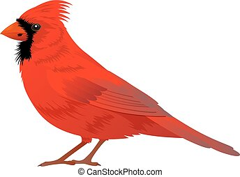 Northern Cardinal bird on a white background. Vector...
