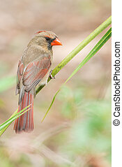 Northern cardinal (Cardinalis cardinalis) - female - ...