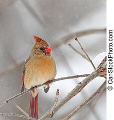 Northern Cardinal, Cardinalis cardinalis - Female northern ...