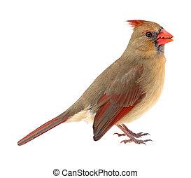 Northern Cardinal, Cardinalis cardinalis, isolated - Female ...