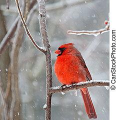 Northern Cardinal, Cardinalis cardinalis - Male northern ...