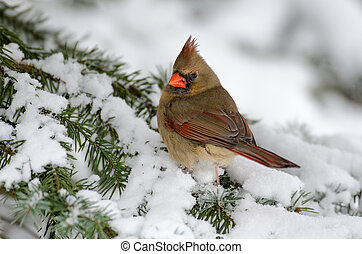 Northern cardinal in a tree